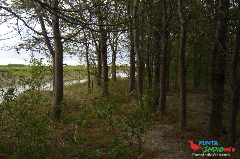 bosque gleditsia triacanthos