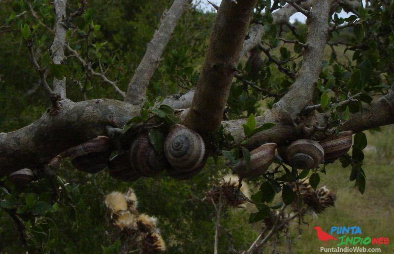 caracoles tala