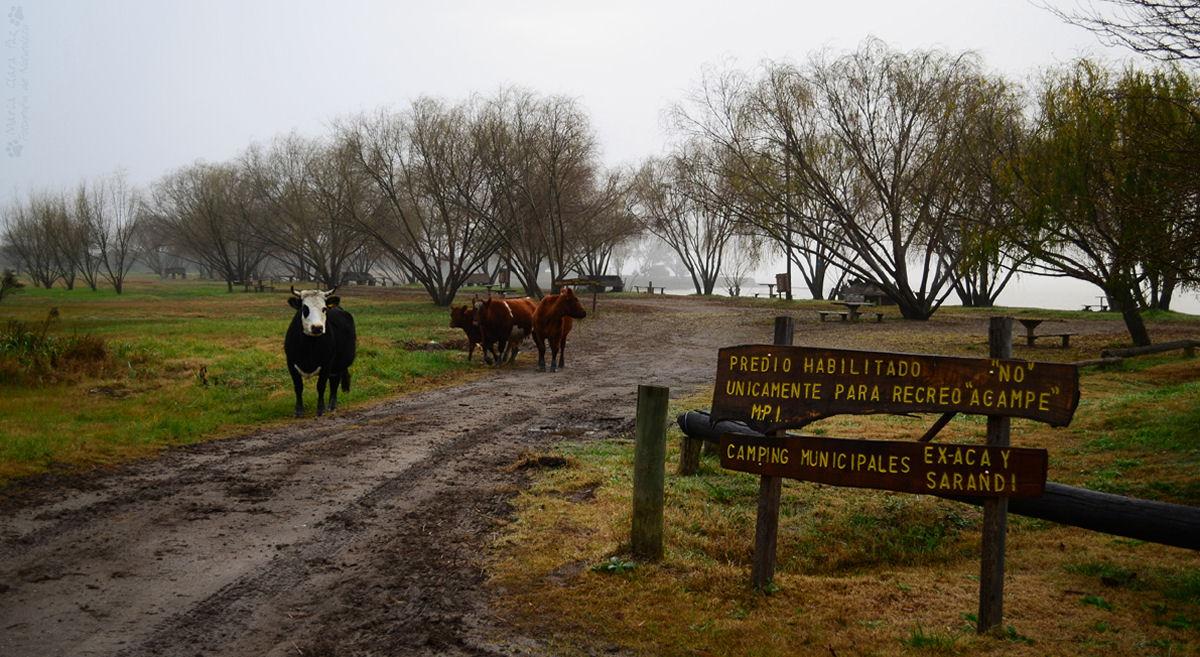 maria clara paz - vacas en el Pericon
