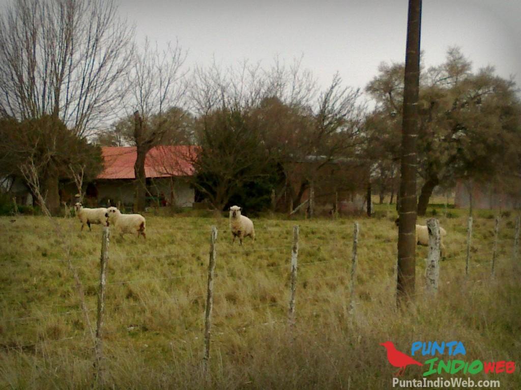 ovejas en La Viruta