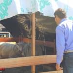 Yzurieta viendo el ganado ovino expuesto