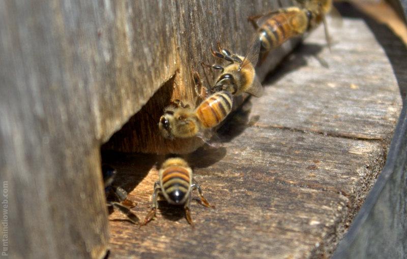 abejas piquera