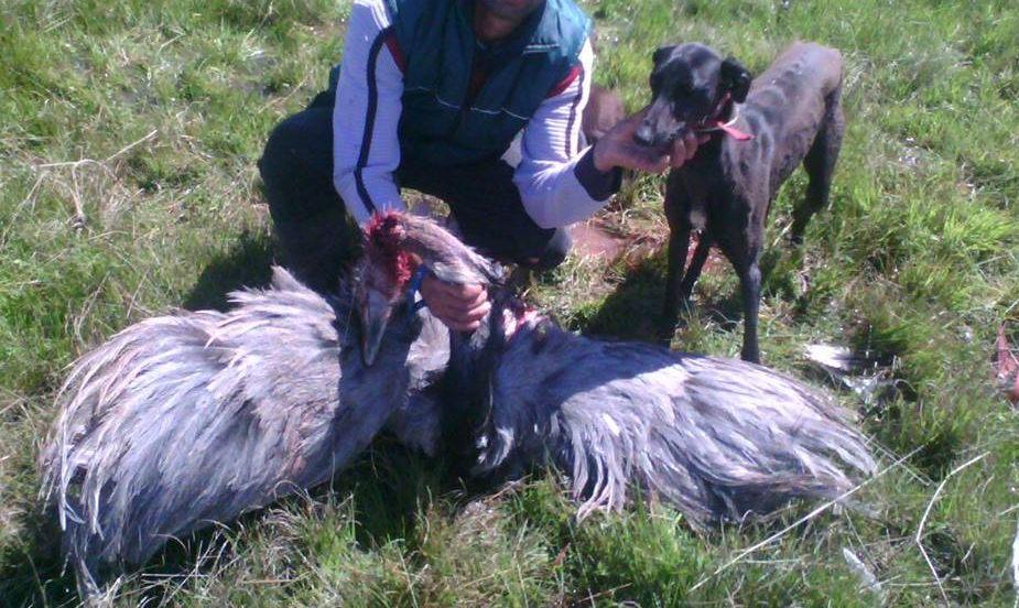 caza nandu con galgos