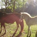 buscan caballos