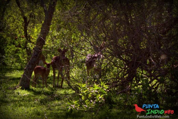 ciervos punta indio