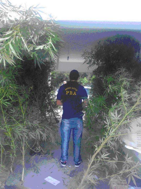 Casi 100 plantas de marihuana en una casa