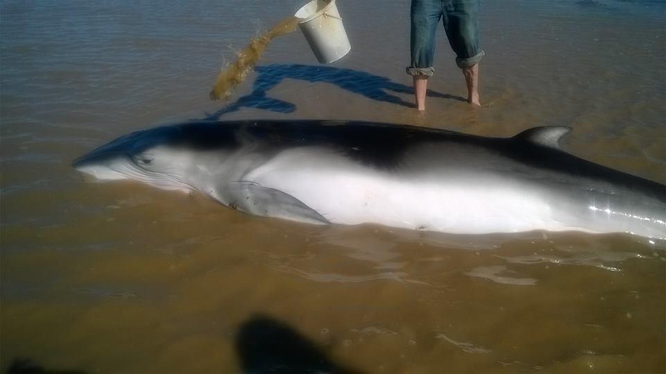 Ballena varada en la costa de Punta Indio